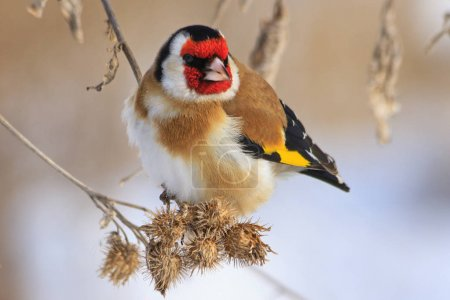 Goldfinch sitting on a burdock in winter sunny day