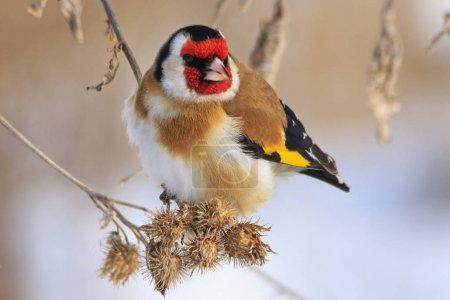 Photo pour Chardonneret d'or assis sur une bardane en hiver journée ensoleillée, oiseau de couleur dans la neige, froid, gel, temps de plaisir, Carduelis carduelis - image libre de droit