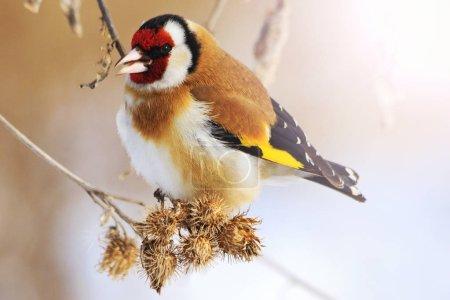 Photo pour Chardonneret hiver froid avec hotspot ensoleillé, oiseau de couleur dans la neige, froid, gel, temps de plaisir, Carduelis carduelis - image libre de droit