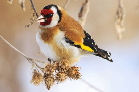 Goldfinch and cold winter,colored bird in the snow...