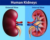 Human anatomy diagram with kidneys