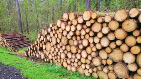cut  logs in the forest. firewood. Nature