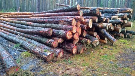 cut  logs in the forest. firewood