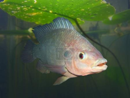 The Tilapia fish underwater.