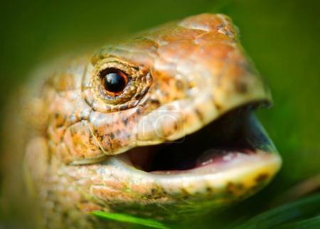 Laughing Lizard (The Sand Lizard Lacerta agilis).
