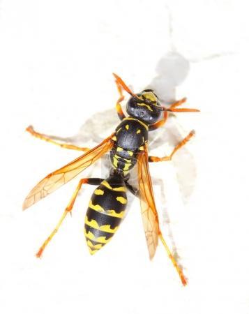Yellow Jacket Wasp on white background.