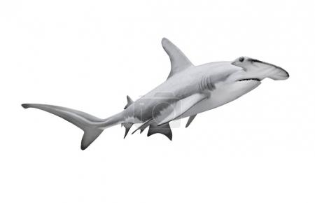 The Great Hammerhead Shark isolated on white.