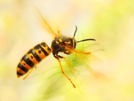 The Wasp -  Vespula Germanica flying from a window...