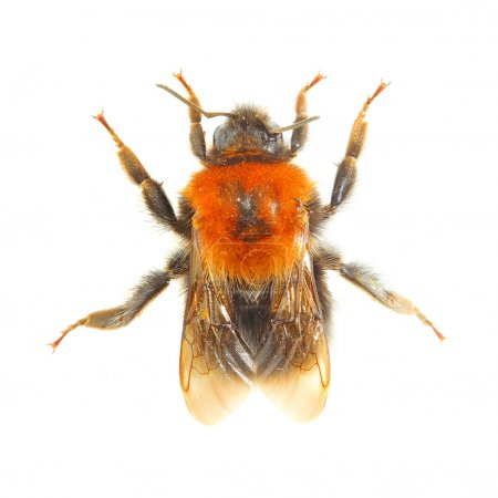 The Bumblebee or Bumble Bee