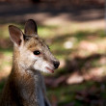 In  australia natuarl park close  up of the kangar...
