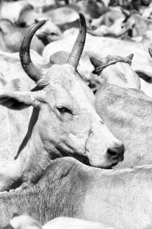 in   ethiopia africa   lots of bulls in the animal market like background