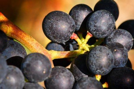 black grape on vine branch