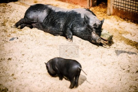 Sleeping big pig with baby piglet.