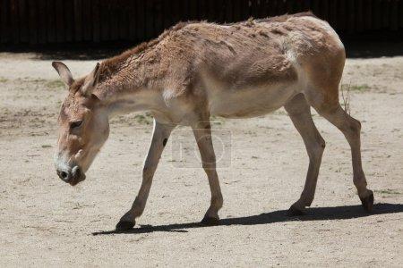 Persian onager (Equus hemionus onager).