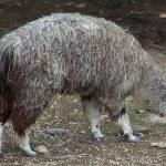 Alpaca (Vicugna pacos). Wildlife animal....