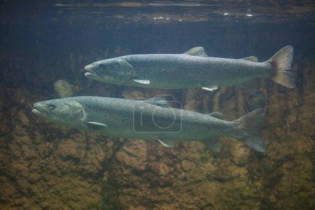 Huchen (Hucho hucho) or Danube salmons.
