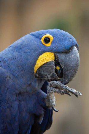 Hyacinth macaw (Anodorhynchus hyacinthinus).