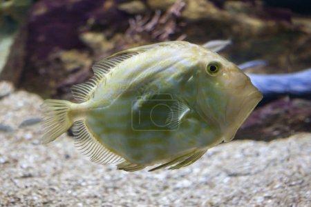 Photo pour John Dory (Zeus faber), également connu sous le nom de poisson de Saint-Pierre . - image libre de droit