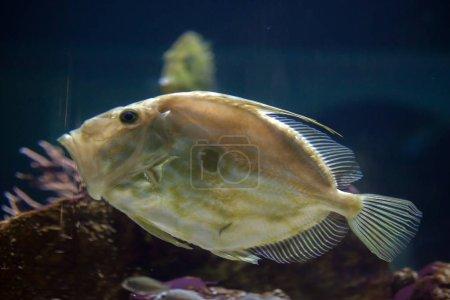 Photo pour John Dory en aquarium (Zeus faber), également connu sous le nom de poisson de Saint-Pierre . - image libre de droit