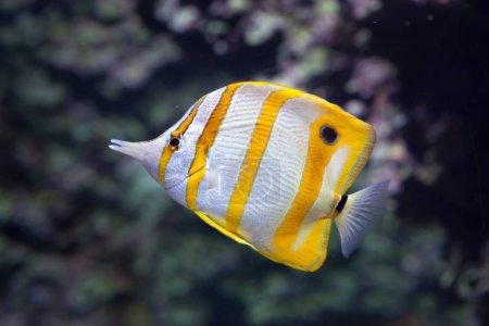 Copperband butterflyfish in aquarium