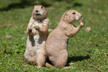 Photo for Black-tailed prairie dogs (Cynomys ludovicianus) - Royalty Free Image