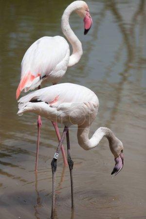 beautiful Greater flamingos