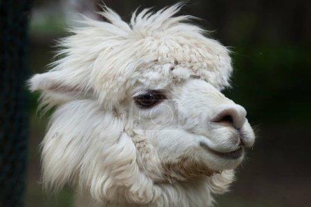 Foto de Llama (Lama glama). Animales domésticos . - Imagen libre de derechos