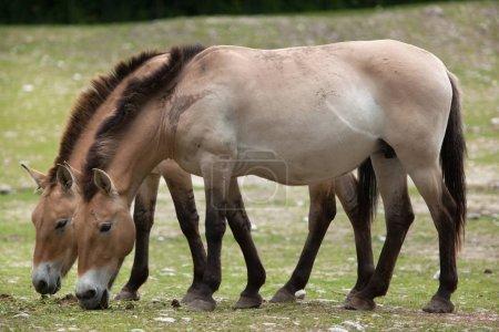 Przewalski's horse (Equus ferus przewalskii)