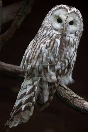 East European Ural owl