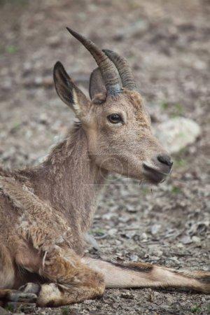 Siberian ibex (Capra sibirica).