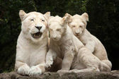 white lion with cubs