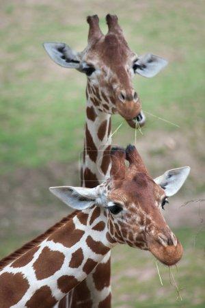 Reticulated Somali giraffes