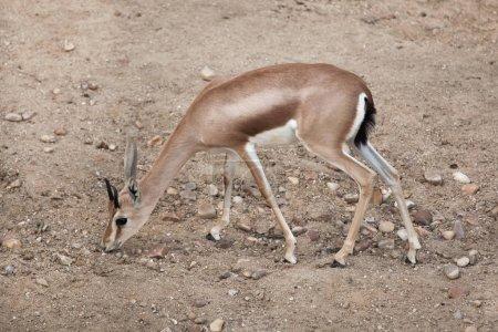 Saharan dorcas gazelle