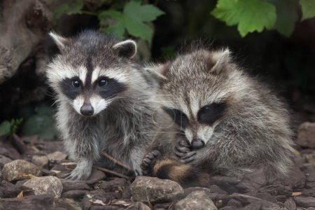 North American raccoons