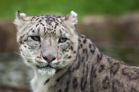 Snow leopard in Wildlife