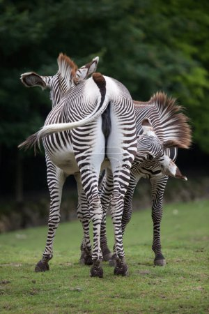 wild Grevys zebra