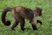 wild Golden-bellied capuchin
