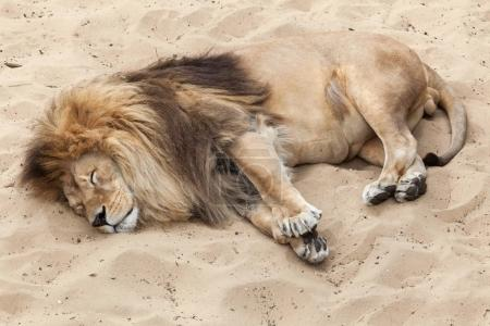 sleeping wild Lion