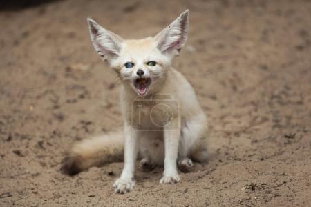 Fennec fox (Vulpes zerda).
