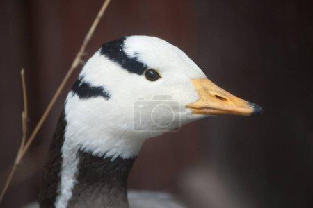 Closeup of Bar-headed goose