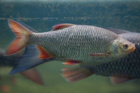 Side view of Common rudd fish (Scardinius erythrop...