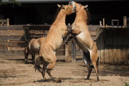 Przewalski's horses (Equus ferus przewalskii)