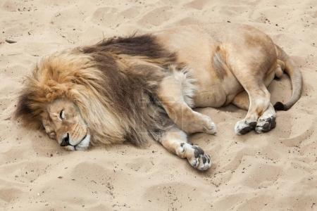 Lion (Panthera leo). Wildlife animal.