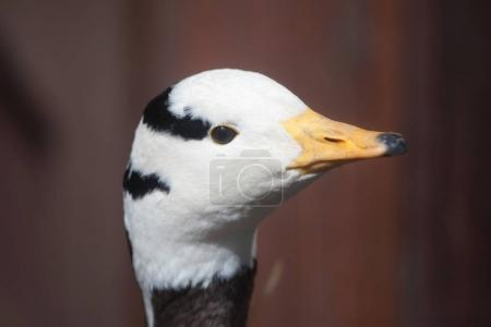 Bar-headed goose (Anser indicus). Wild life animal.