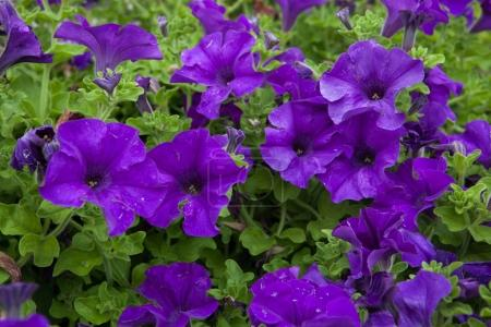 Petunia flowers. Background texture. Spain.