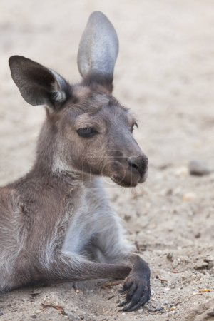 Mainland Western grey kangaroo (Macropus fuliginosus melanops), also known as the black-faced kangaroo.