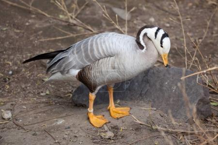 Bar-headed goose (Anser indicus). Wild life animal.