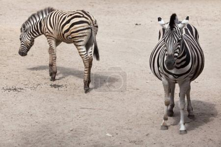 View of Chapman's zebra in zoo
