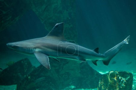 Close up of sandbar shark, marine fish