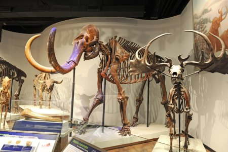 Mammoth Skeleton at Field Museum